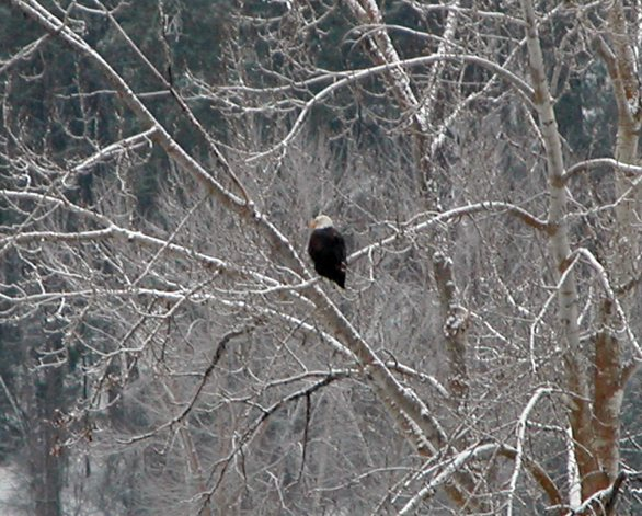 Bald Eagle in a tree in my lower pasture.