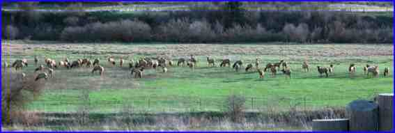 Elk in my lower pasture.